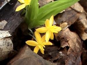 Curculigo orchioides (photo)