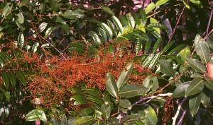 Eurycoma longifolia - photo