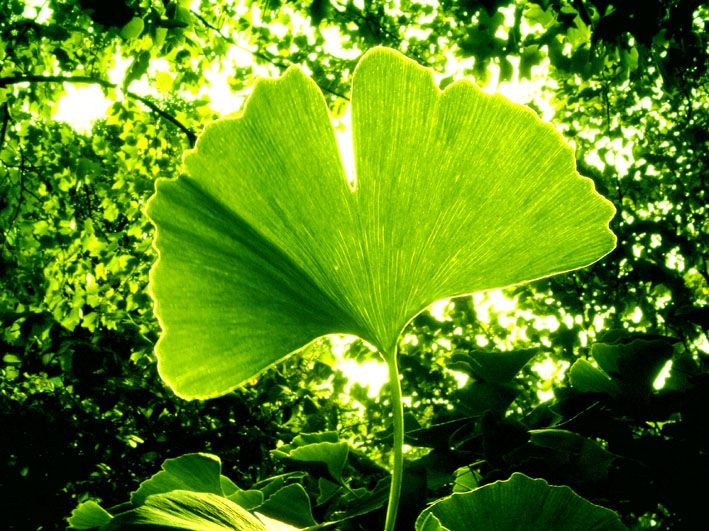 Ginkgo biloba - photo