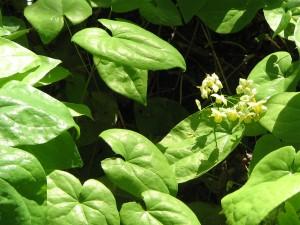 Epimedium (Horny Goat Weed)