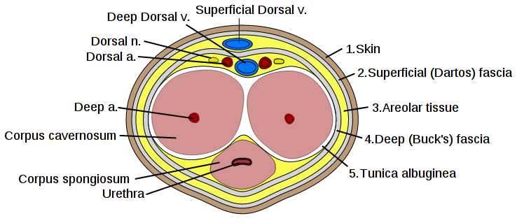 Image result for cross section of the penis